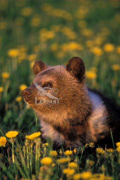 Grizzly Bear Cub - age 3 months - in meadow filled with dandelions that are an important food source for grizzlies. Spring. Rocky Mountains. (Ursus arctos).