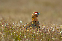 Grouse in heather.