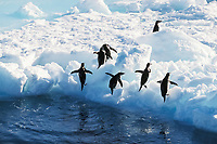 adelie penguins, Pygoscelis adeliae, coming out of the water, Cape Hallet, Antarctica