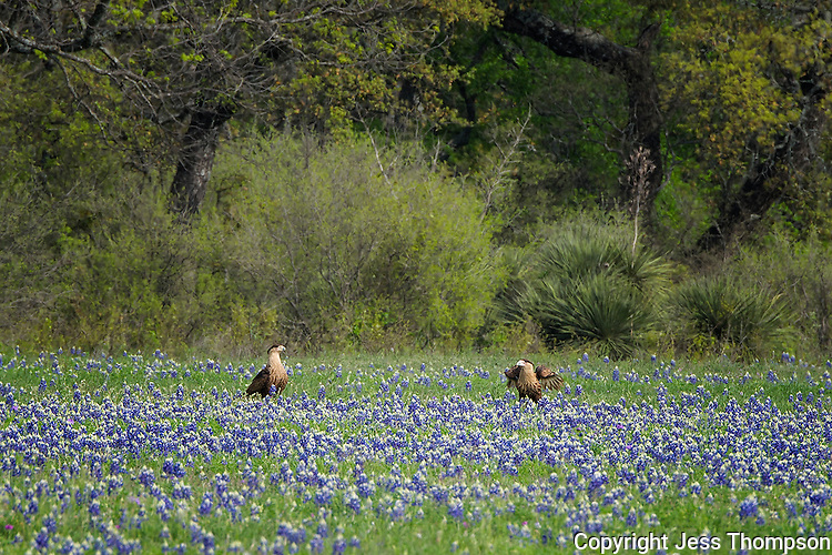 Crested Caracara in a field of bluebonnets, Llano County, Texas
