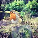 Glencoe Lochan, Ballachulish, Highlands, Scotland, UK. 08.01.2019. A friendly Robin perches on a fence post by Glencoe Lochan, Ballachulish, Highlands, Scotland, UK. Photograph © Jane Hobson.