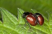 Geglätteter Blattkäfer, Kopulation, Kopula, Paarung, Chrysolina polita, Chrysomela polita, leaf beetle