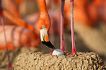 American Flamingo (Phoenicopterus ruber) standing over it's egg in a nest. Yucatan, Mexico.
