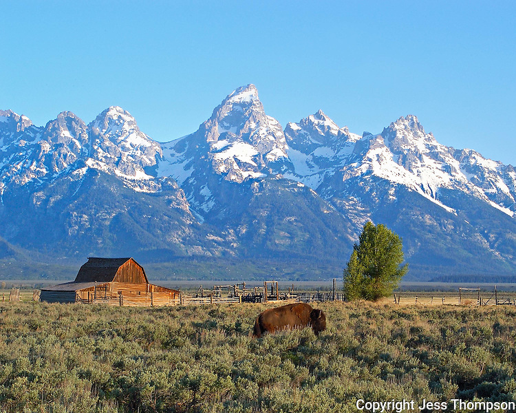 Old Barn in the Tetons with Buffalo