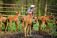 Larissa, a worker at the Sumarkova Eurasian elk farm looks after the calves, Alces alces, in an enclosure. Kostroma, Russia, Arctic