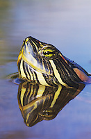 Red-eared Slider, Trachemys scripta elegans, adult swimming, Willacy County, Rio Grande Valley, Texas, USA