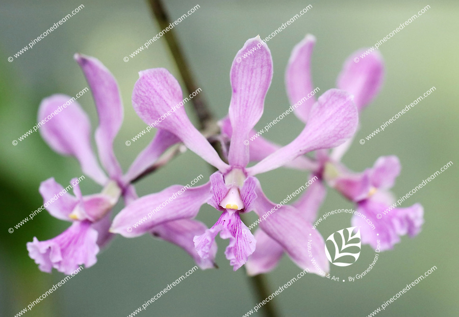 Soft pink purple gorgeous Orchids - Free nature stock image.