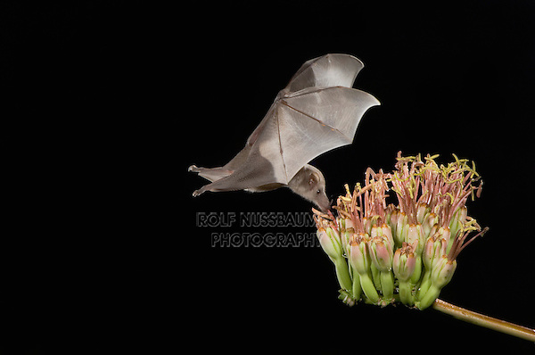 Mexican Long-tongued Bat, Choeronycteris mexicana, adult in flight at night feeding on Agave Blossom (Agave spp.),Tucson, Arizona, USA