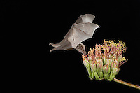 Mexican Long-tongued Bat, Choeronycteris mexicana, adult in flight at night feeding on Agave Blossom (Agave spp.),Tucson, Arizona, USA
