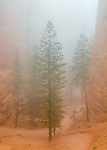 Bryce Canyon National Park, UT: Pine trees in fog in Bryce Canyon