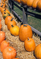 Orange pumpkins lined up on hay bales in fall along wooden rail fence in autumn af pumpkin farm for Halloween