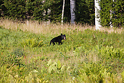 Black Bear -Ursus americanus- in Pinkham Notch of the White Mountains, New Hampshire USA during the summer months.