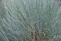 Blaetter der giftigen Ephedra nebrodenis (Balkan-Meertraeubel) im Herbst. Aus der Phlanze kann das Alkaloid Ephidrin gewonnen werden.<br /> 24.10.2020, Berlin<br /> Copyright: Christian-Ditsch.de