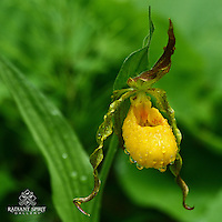 """""""Yellow Moccasin Flower"""" ~ This rain-drenched Yellow Moccasin Flower was growing as part of a colony in the woods near Duluth. This native orchid is also known as a Yellow Lady's Slipper (Cypripedium calceolus)."""