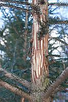Verbiss durch Rotwild, Rothirsch, Rot-Wild, Edelhirsch, Tiere haben im Winter die Rinde von Bäumen und Büschen abgefressen, geschält, Verbiss-Schaden, Schälung, Cervus elaphus, red deer