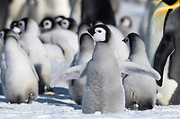 Snow Hill Island, Antarctica. Oh what fun. Emperor penguin chick discovers flapping its down covered flippers.