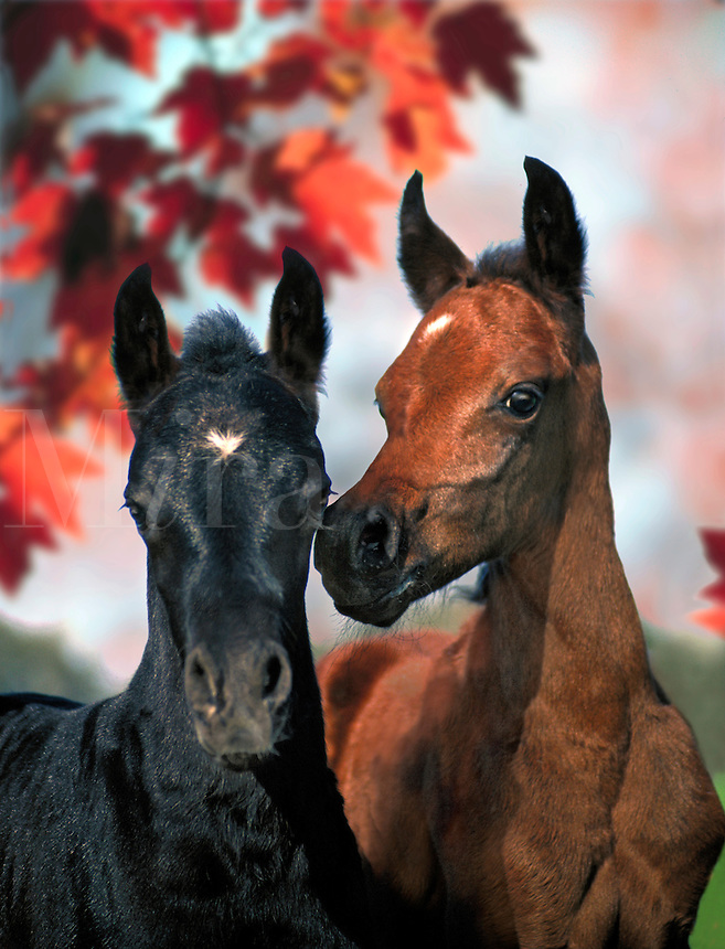 Close up of two arabians foals. One appears to be whispering in the others ear. Horses, Equine, animals. #302 HR Hassles foals.