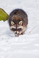 Raccoon (Procyon lotor) in winter in snow, foraging