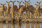 Impala, Mashatu, Botswana
