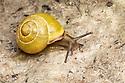 Brown lipped snail {Cepaea nemoralis}, yellow unbanded form on limestone. Peak District National Park, Derbyshire, UK. April