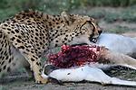 Female Cheetah (Acinonyx jubatus) feeding on male Grant's gazelle. Short grass plains of the Serengeti / Ngorongoro Conservation Area (NCA) near Ndutu, Tanzania.