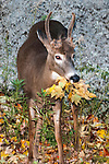 Whitetail Deer buck foraging on leaves during fall full body view, vertical.