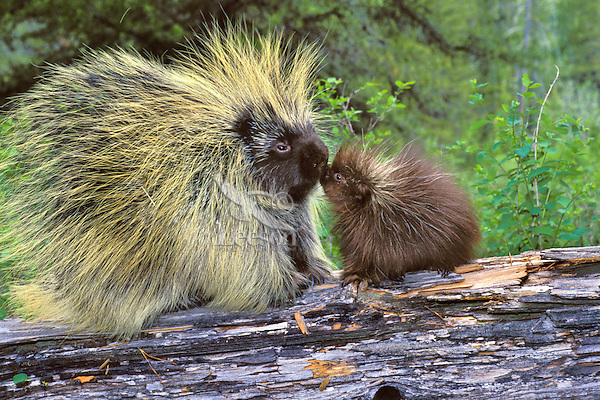 Mp57  Porcupine family--mother with young.