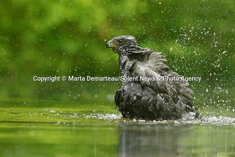 Pic 9 of sequence<br /> <br /> Pictured : The hawk causes a splash as she washes herself.<br /> <br /> A hawk walks into a river to wash before ruffling its feathers to dry off.<br /> <br /> The female Northern Goshawk had recently been hunting and went to the water to clean.<br /> <br /> The bird of prey was photographed by nature photographer Marta Demartea in Drunen in the Netherlands.   SEE OUR COPY FOR FULL DETAILS.<br /> <br /> Please byline: Marta Demarteau/Solent News<br /> <br /> © Marta Demarteau/Solent News & Photo Agency<br /> UK +44 (0) 2380 458800