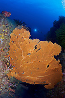 Large gorgonian sea fans ( Annella mollis ) at East of Eden off the Similan Islands, Andaman Sea, Thailand MR