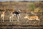 Male Indian blackbuck (Antilope cervicapra) with harem of females. Arable fields on the edge of the buffer zone. Satpura National Park, Madhya Pradesh, India.