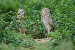 Burrowing Owls (Athene cunicularia) outside burrow. Hato La Aurora Reserve, Los Llanos, Colombia.