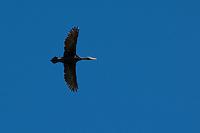 Krähenscharbe im Flug, Flugbild, fliegend, Krähen-Scharbe, Phalacrocorax aristotelis, shag