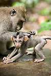 An adult long-tailed macaque, (Macaca fascicuiaris), inspects an infant.