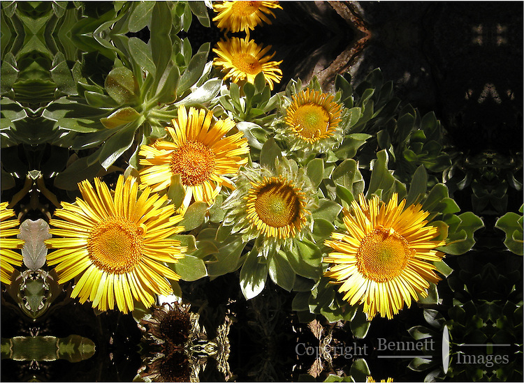 Sunflowers on display at the greenhouses of the Luxemburg Gardens in Paris, France.