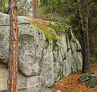 A fine art landscape image of a granite outcropping, laced with green moss and framed by brown tree trunks and a carpet of brown leaves, found in Yosemite Valley, California.