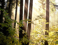 V00360M.tif   Fall color of Vine Maple trees and fog with sun. Aufderheide National Scenic Byway, Oregon. Willamette National Forest