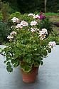 Pink pelargoniums in terracotta pots, late August.
