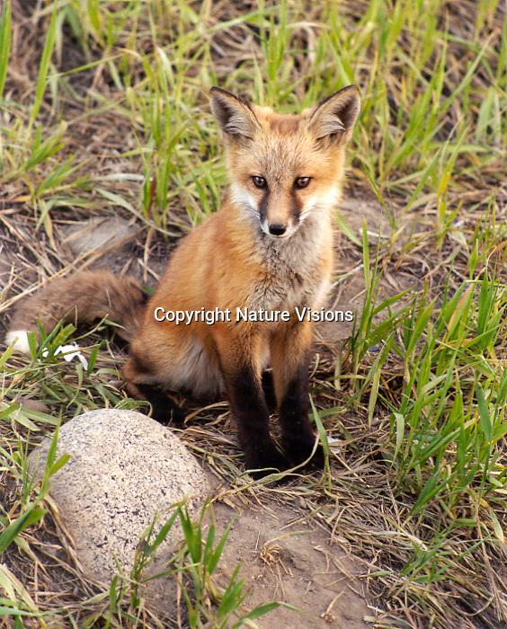 RED FOX PUP<br /> SILVERTHORNE, COLORADO
