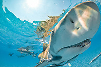 lemon shark. Negaprion brevirostris, with remora, sharksucker, Bahamas, Atlantic Ocean