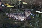 Redhead Duck in non-breeding plummage swimming right