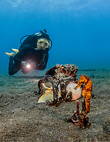 Seahorse (Hippocampus) in Lembeh Strait / Indonesia
