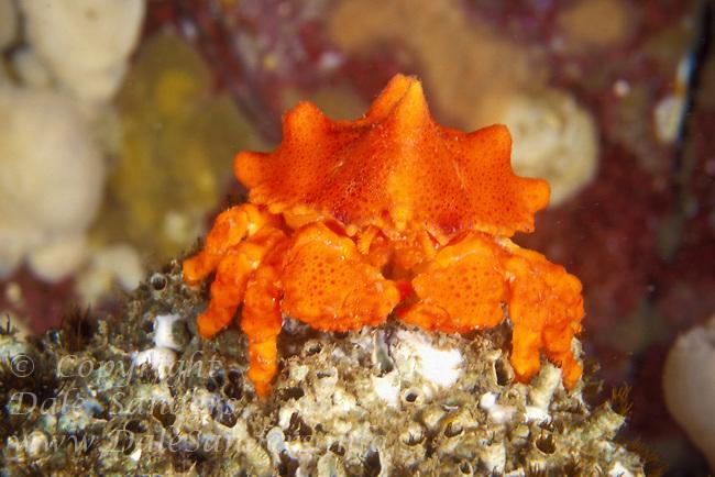 Juvinile Puget Sound King Crab  (Lopholithodes mandtii) underwater in Jervis Inlet, British Columbia, Canada.