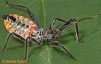 "0715-07ww  Assassin bug/Wheel bug ""Nymph"" - Arilus cristatus - © David Kuhn/Dwight Kuhn Photography"