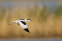 Pied Avocet, Recurvirostra avosetta, adult in flight, National Park Lake Neusiedl, Burgenland, Austria, April 2007
