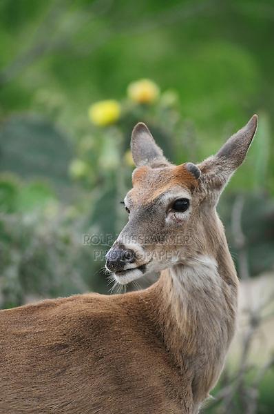 White-tailed Deer (Odocoileus virginianus), buck, Laredo, Webb County, South Texas, USA