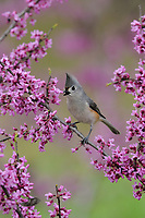 Tufted Titmouse (Baeolophus bicolor), Palmetto State Park, Texas, USA