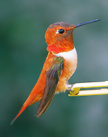 Adult male rufous hummingbird. This bird was banded on Dec 8, 2012 and has now returned to the same house in Houston, TX for the third winter. This series of photographs was taken on October 25, 2014.