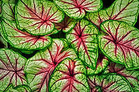 Close up of Caladium leaves. Oregon