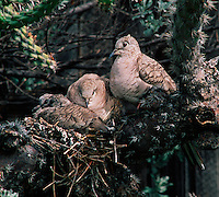 Inca Doves, an adult and two young, nested in a cholla cactus. (Scardafella inca).