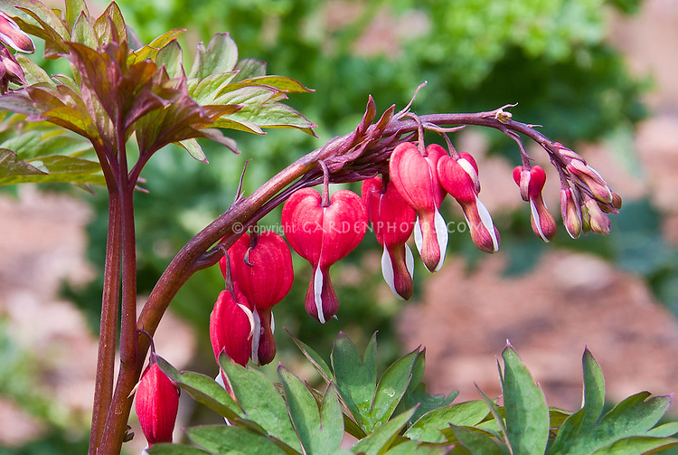 Lamprocapnos (formerly Dicentra) spectabilis 'Valentine', Dicentra spectabilis Valentine in flower in spring bleeding hearts against Dicentra spectabilis Gold Heart foliage